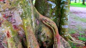 巨大的树干 大树根和光束在一个一棵大树绿色forestSpring的草甸根与新鲜的绿色叶子草fi 股票视频