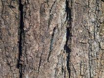 巨大的树皮的纹理 库存照片