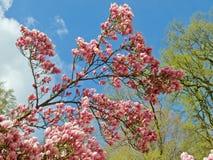 巨大的桃红色开花的木兰树 库存照片