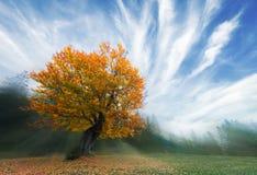 巨大的橙色椴树在秋天 免版税库存照片