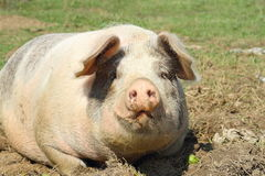 巨大的母猪特写镜头  免版税库存照片