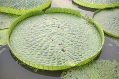 巨大的浮动莲花,巨人亚马逊荷花 库存图片