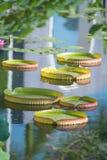 巨大的浮动莲花,巨人亚马逊荷花 免版税库存图片