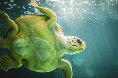 巨大的海龟水下在珊瑚礁旁边 免版税图库摄影