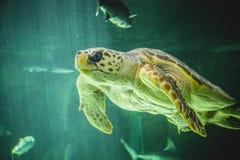 巨大的海龟水下在珊瑚礁旁边 图库摄影
