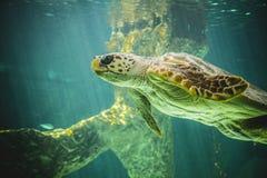 巨大的海龟水下在珊瑚礁旁边 库存图片