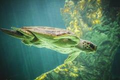 巨大的海龟水下在珊瑚礁旁边 免版税库存照片