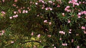 巨大的灌木开花的夹竹桃 r 在绿色叶子背景的桃红色花  影视素材