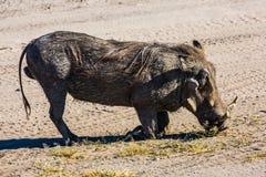巨大的狂放的warthog 免版税库存照片