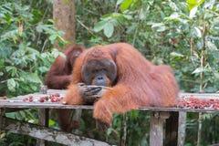 巨大的猩猩在一个木平台说谎并且从金属喝 免版税库存图片