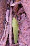 巨大的甲虫,象植物的叶子 热带纬度昆虫  与绿色翼的大昆虫 免版税库存图片