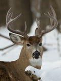 巨大的白尾鹿大型装配架 图库摄影