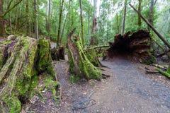 巨大的空心下落的树根和树桩 免版税库存图片