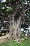 巨大的结构树 免版税图库摄影