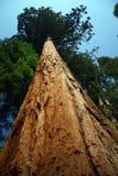 巨大的结构树 库存照片