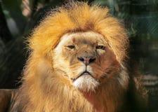 巨大的美丽的公非洲狮子画象  免版税库存图片