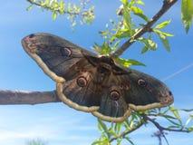 巨大的美丽的蝴蝶 免版税库存照片