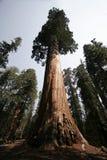 巨大的美国加州红杉结构树 库存图片