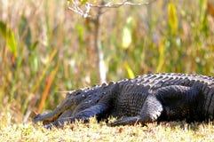 巨大的美国短吻鳄在沼泽地 库存照片