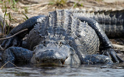巨大的美国短吻鳄, Okefenokee沼泽全国野生生物保护区 免版税库存照片