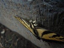 巨大的美好的黄色蝴蝶宏指令细节 免版税库存图片
