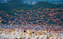 巨大的群火鸟离开 肯尼亚 闹事 纳库鲁国家公园 柏哥利亚湖国家储备 库存照片