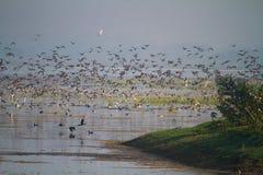 巨大的群鸭子离开 库存照片