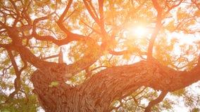巨大的老树在阳光下光 免版税库存照片