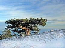 巨大的老结构树 库存图片