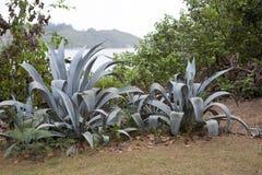 巨大的芦荟维拉植物 免版税库存图片
