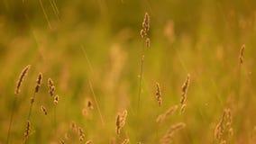 巨大的草摇摆 影视素材