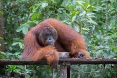 巨大的蓬松猩猩在一个木平台说谎在金属旁边 库存图片