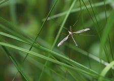 巨大的蚊子 免版税图库摄影