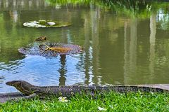 巨大的蜥蜴监控程序 免版税图库摄影