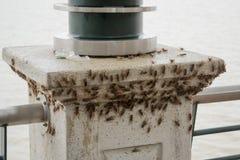 巨大的装载蟋蟀(acheta domesticus) 免版税库存图片