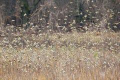 巨大的金翅雀群 库存图片