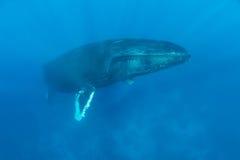 巨大的驼背鲸上升浮出水面 免版税库存图片