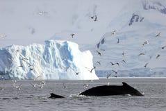 巨大的驼背鲸尾巴 免版税库存图片