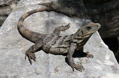 巨大的鬣鳞蜥 免版税库存照片