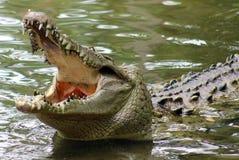 巨大的鳄鱼在一个密林在南美洲哥斯达黎加 免版税图库摄影