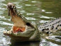 巨大的鳄鱼在一个密林在南美洲哥斯达黎加 免版税库存图片