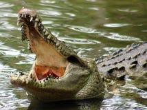 巨大的鳄鱼在一个密林在南美洲哥斯达黎加 免版税库存照片