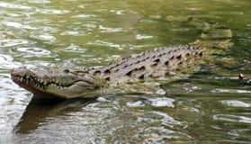 巨大的鳄鱼在一个密林在南美洲哥斯达黎加 库存图片