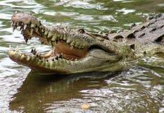 巨大的鳄鱼在一个密林在南美洲哥斯达黎加 库存照片