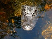 巨大的鳄鱼在沼泽地 库存图片