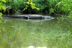 巨大的鳄鱼 免版税库存图片