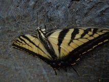 巨大的黄色蝴蝶宏指令细节 免版税库存照片