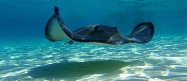巨大的黄貂鱼 免版税库存照片
