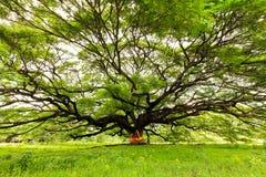 巨大的猴子豆荚结构树 库存图片