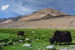 巨大的黑毛茸的西藏牦牛在高小山中的高山牧场地,北印度吃草 免版税图库摄影